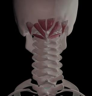 インナーマッスルである後頭下筋群