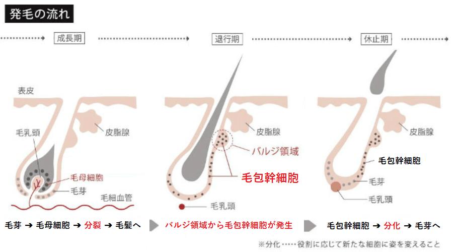 メンズ脱毛、成長期・退行期・休止期の発毛の流れ