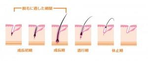 毛周期のサイクル